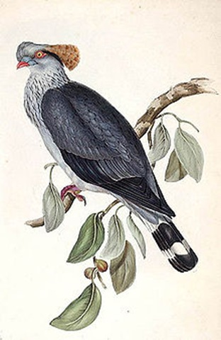 Lopholaimus_antarcticus_lithograph