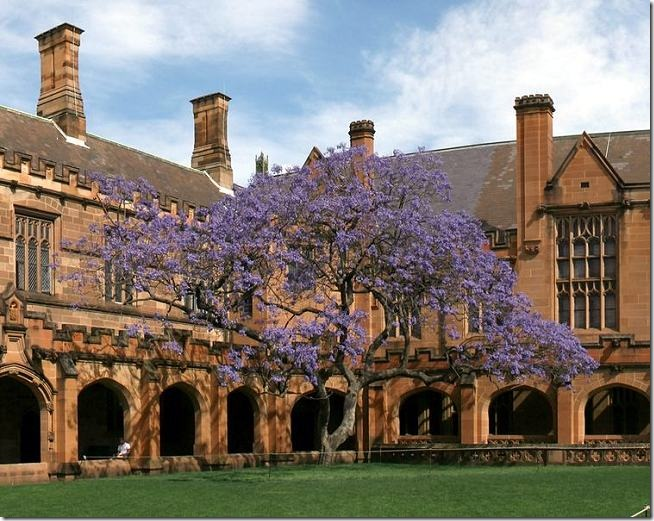 SydneyUniversity_MainQuadrangle_Jacaranda_crop