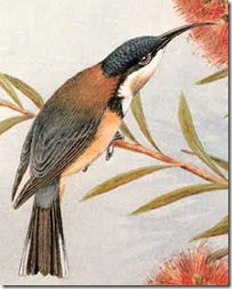 caley-spinebill