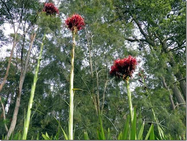 Gymea-Lilies
