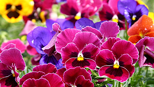 Pansies-Uncropped-used-for-TV-Autumn-2011-568x322